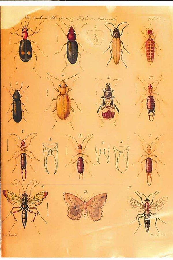 achille costa tavola entomologa